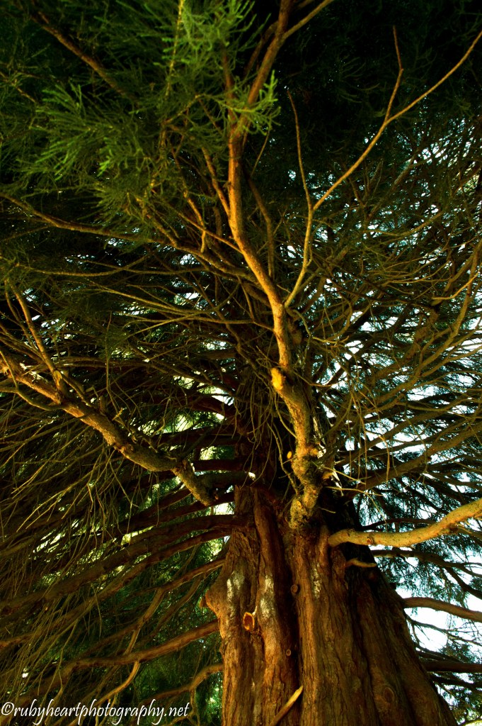Redwood Tree3